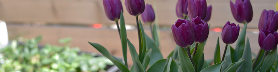 How To Grow Tulips Miracle Gro