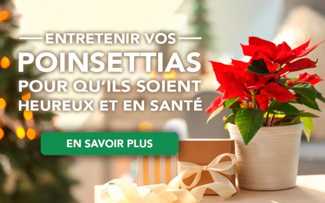 Keep your poinsettias happy and healthy
