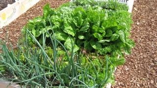 How to Grow and Organic Garden: raised bed organic garden