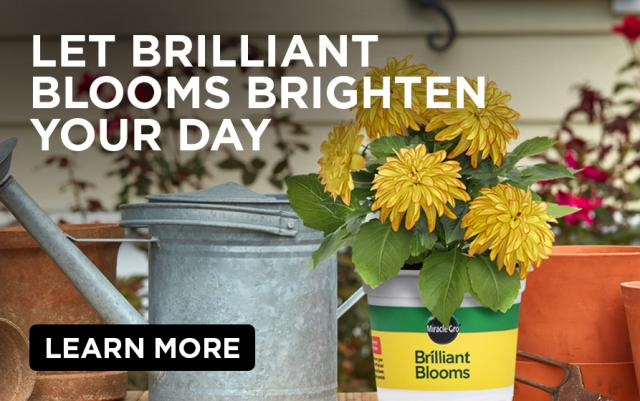 Let Brilliant Blooms Brighten Your Day: Pot of Pot of Miracle-Gro®️ Brilliant Blooms dahlias next to watering can and empty planters