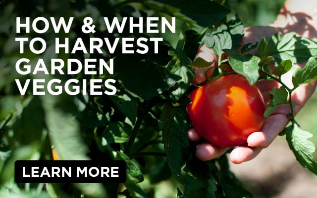 How & When to Harvest Garden Veggies: hand reaching to pick ripe red tomato