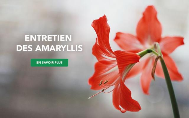 Amaryllis in the foreground of picture with caption- Caring for your amaryllis