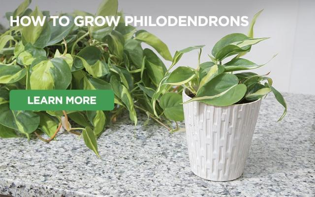 Philodendron growing on counter