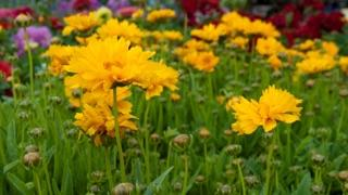 yellow coreopsis flowers