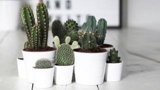 variety of cacti in small and large white ceramic pots