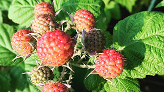 How to Grow Raspberry Bushes