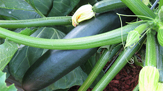 Zucchini Growing