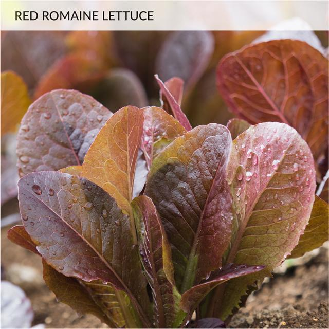 Bonnie Red Romaine Lettuce 2-pack